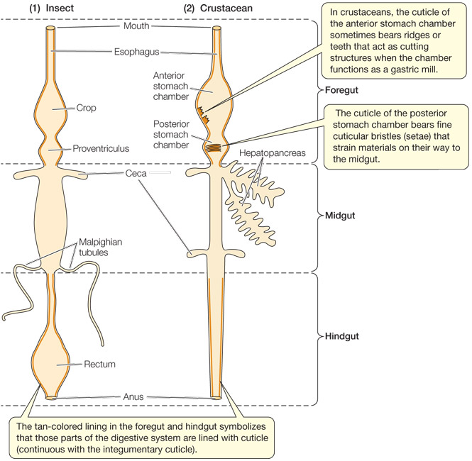 Animal physiology 4e although the excretory system of crustaceans is separate from the digestive system in insects ccuart Gallery